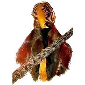 Veniards Golden Pheasant Whole Bodyskin inc Head and Tail