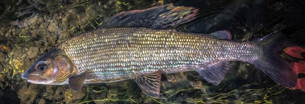 One-Day Nymphing for Grayling Course